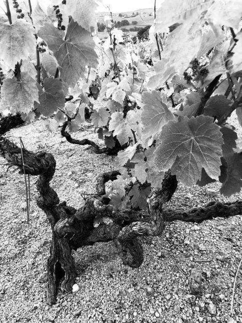 pied de vigne gamay noir et blanc